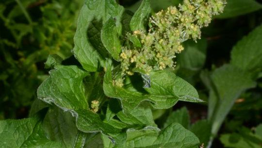 Le ricette con erbe spontanee: Gnocchi