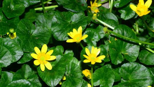 I fiori delle piante velenose