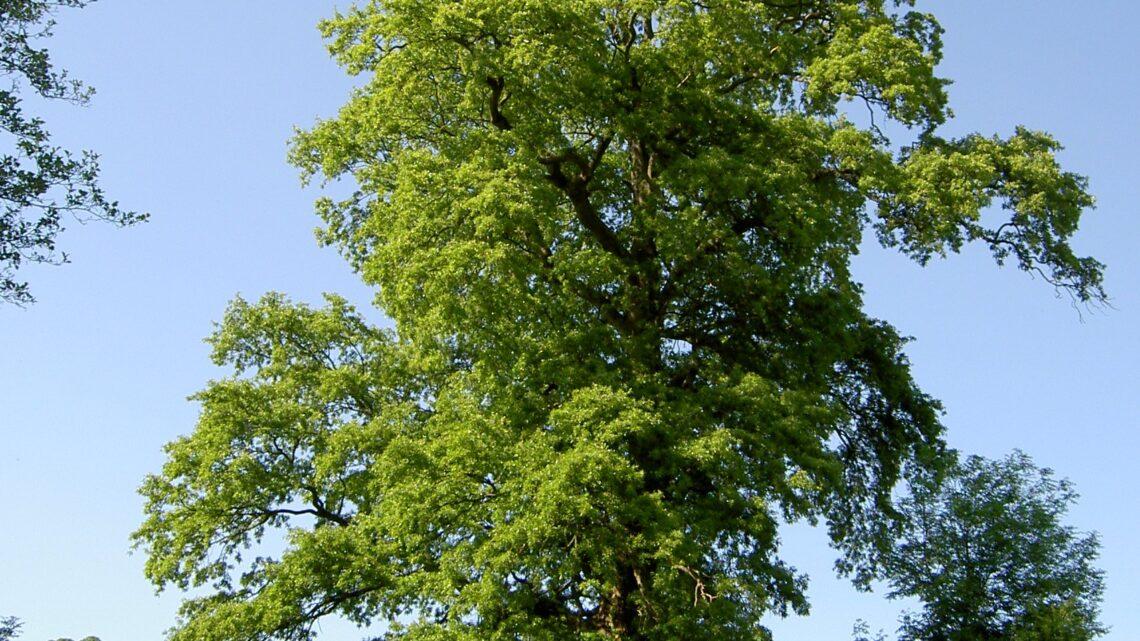 Gli alberi dai 600 ai 1100 m slm [video]